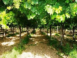 Terreno Agricolo in vendita contrada sciutico San Vito Chietino (CH)