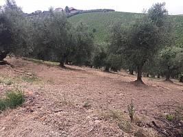 Terreno Agricolo in vendita contrada villa sipi Moscufo (PE)
